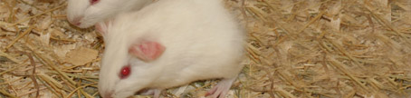 Guinea pigs - C vitamin research